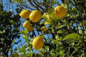 ᐅ Zitronensorten - Die bekanntesten Zitronenarten der Welt | grünholm