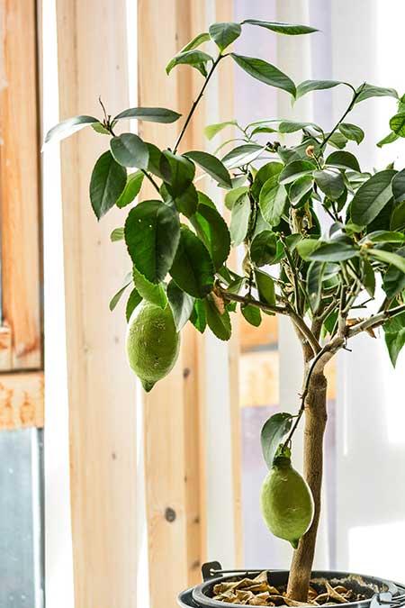Zitronenbaum im Haus