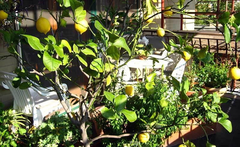 Zitronenbaum auf dem Balkon